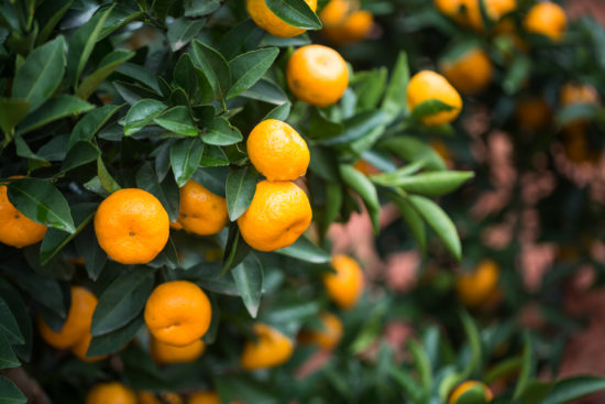 clementines vs mandarins freshpoint produce (2)