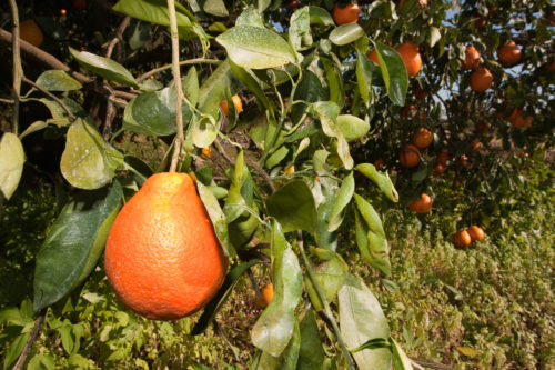 honeybell orange freshpoint produce