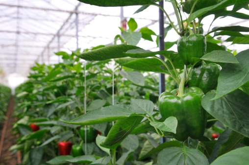 freshpoint-produce-101-peppers-3
