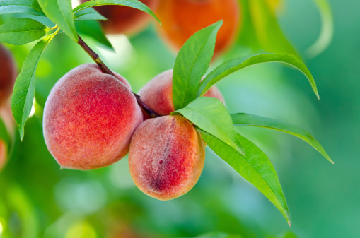 freshpoint produce 101 stone fruit peach tree