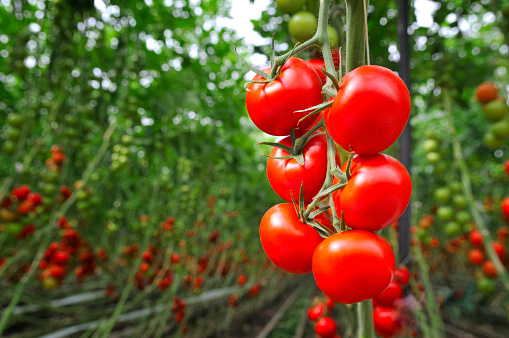 freshpoint-produce-101-tomatoes-greenhouse