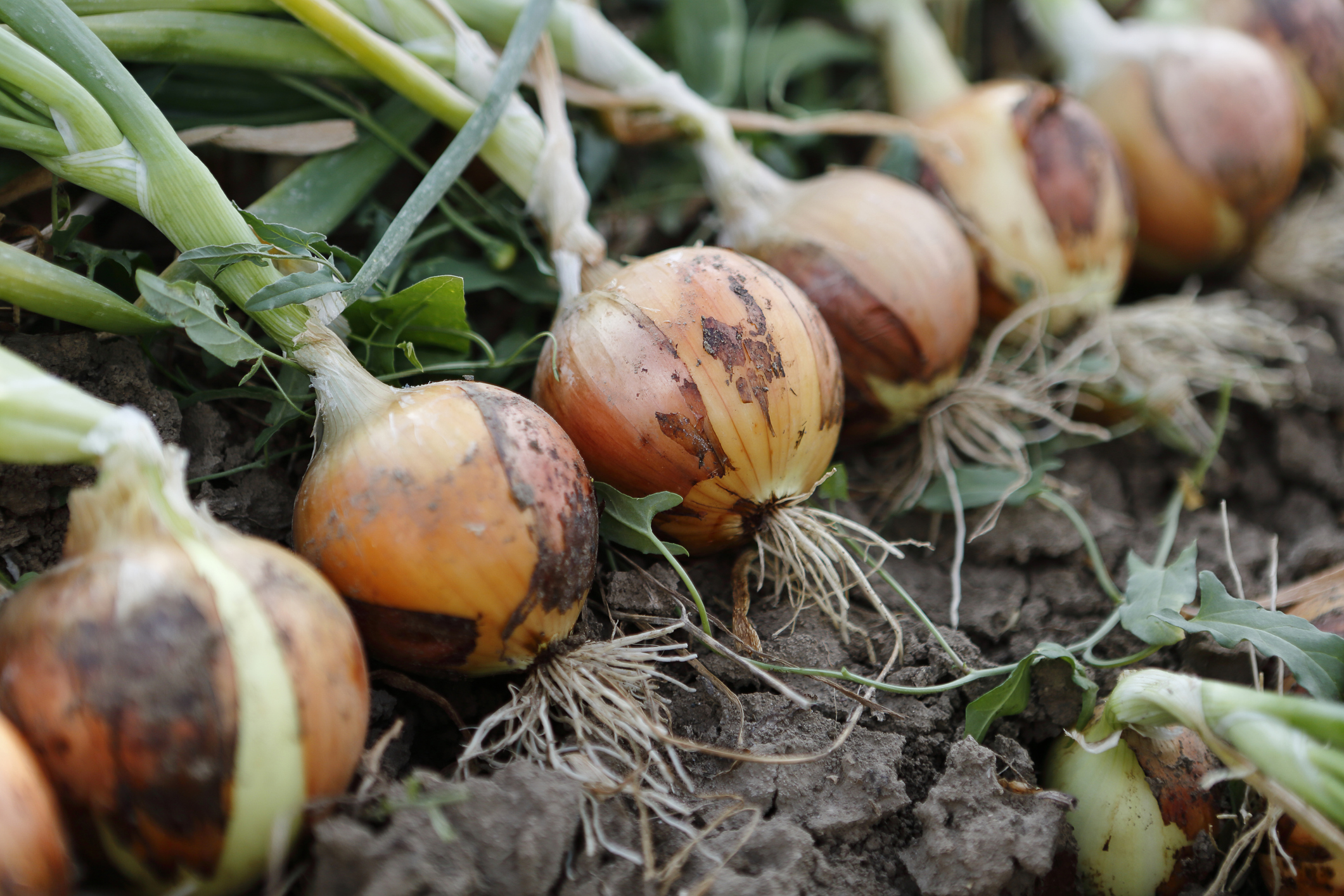 freshpoint produce onion harvest mirepoix vegetables