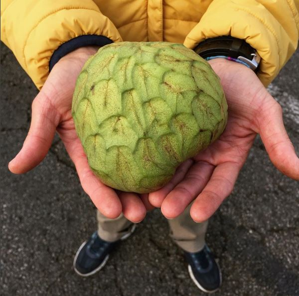 in the farmer's hands, Rincon del Mar Ranch's beautiful cherimoya